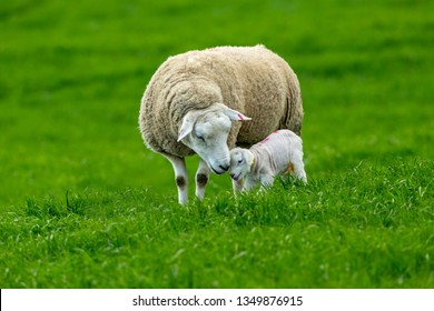 Texel Cross Ewe, a female sheep with her newborn lamb.  A tender moment between mother and baby lamb in lush green meadow. Concept: a mother's love. Landscape, Horizontal. Space for copy