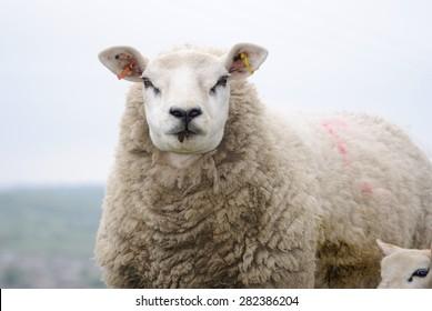 Texel Ewe