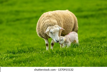 Texel Ewe (female sheep) with her newborn lamb.  Concept: Mother's love. Mother and baby.  Sheep and lamb in lush green meadow in Spring time.  Landscape, horizontal.  Space for copy.