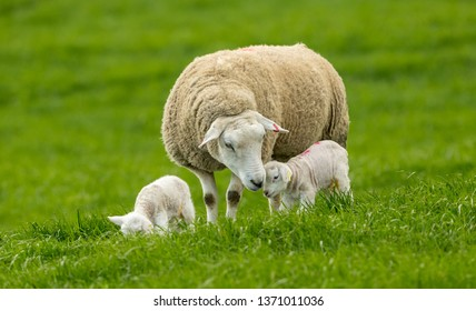 Texel Ewe (female sheep) with her newborn lambs.  Concept: Mother's love.  Sheep and lambs in lush green meadow in Spring time. Yorkshire Dales, England, UK. Landscape, horizontal.  Space for copy.