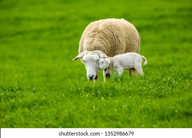 Texel Ewe, female sheep, with newborn lamb.  A tender moment between mother and baby lamb in lush green meadow. Texel is a breed of sheep. Landscape, Horizontal. Space for copy