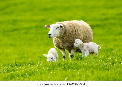 Texel ewe (female sheep) with newborn twin lambs in lush green meadow in Spring Time.   Texel is a breed of sheep.  Yorkshire, England.  Landscape, horizontal. Space for copy