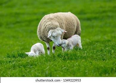 Texel Ewe, female sheep with twin lambs. A tender moment between mother and baby lamb in lush green field. Yorkshire, England. Landscape, Horizontal. Space for copy