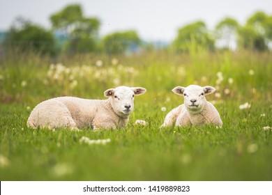 Texel ewe, newborn twin lambs in lush green meadow in Spring Time.