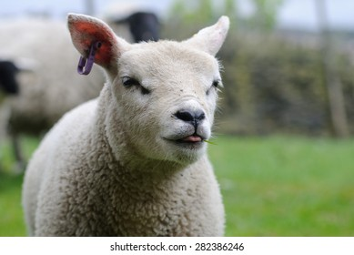Texel lamb with tongue out