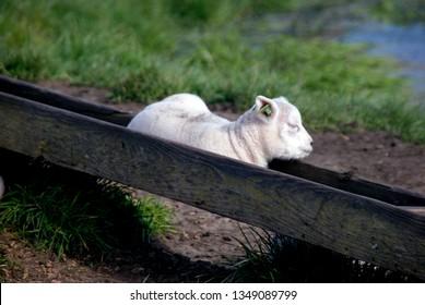 Texel Sheep Images, Stock Photos & Vectors   Shutterstock