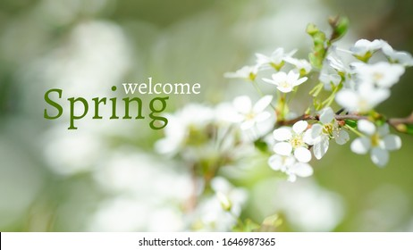 Text WELCOME SPRING. Cerasus besseyi (L.H.Bailey) Lunell white small flowers on branches. Dwarf cherry blossoms in spring. The background for spring screensaver. Spring time concept