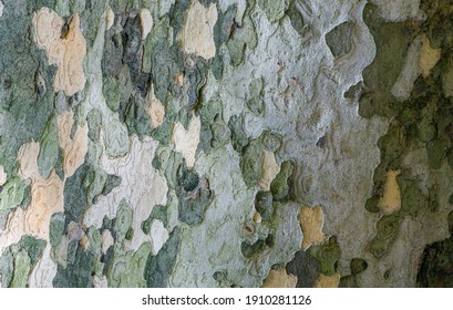Texture of American Sycamore Tree (Platanus occidentalis, Plane-tree) bark in Sochi. Natural green, gray and brown spotted platanus tree bark. Selective close-up focus of camouflage background