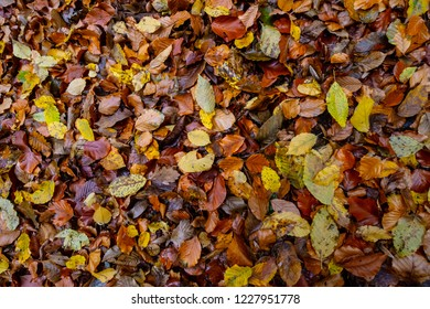 texture of autumnal colored beech leaves fallen on the forest floor