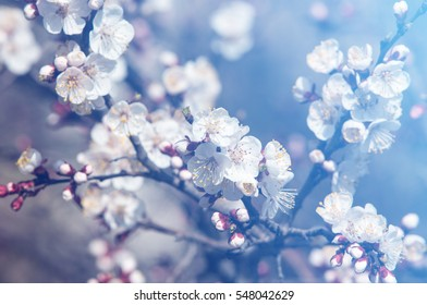 Texture, background, background, blossoming fruit trees, apricot tree blossoms.