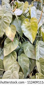 Texture or background of leaves with green heart shape. Philodendron hederaceum, is a creeper similar to potus.