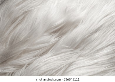 Texture, background, pattern. Fur white yak. a large domesticated wild ox with shaggy hair, humped shoulders, and large horns,