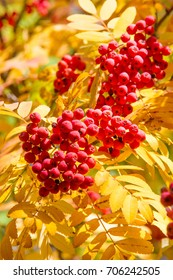 Texture, background, pattern. red leaves autumn on a tree, yellow leaves. Rowan