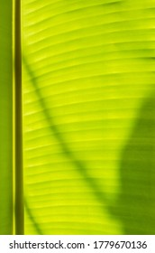 Texture of Banana Leaf in Close Up Detail for Natural Background.