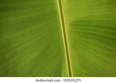 The texture of banana leaf isvisible in detail when sun rays passas through them