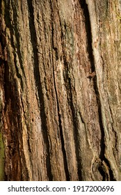 Texture of the bark of an old tree in the sun.