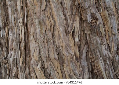The texture of the bark of a young coastal redwood, Sequoia sempervirens- background or backdrop