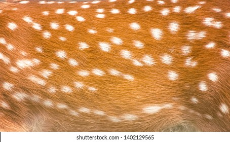 Texture beautiful skin of dear , nature animal body and fur patterns with brown and white color stripes for background