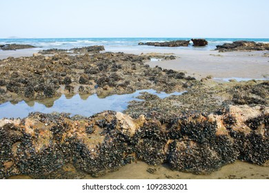 Texture of biology at the sea shore showing mussel reef on the beach wildlife.