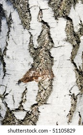 Texture of birch bark, background, (Betula)