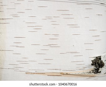The texture of the birch tree as the background
