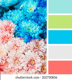 texture of blue and pink color chrysanthemum. Shallow depth of field. color palette swatches