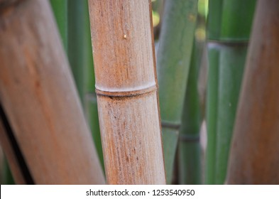 Texture of brown bamboo trunk close up surrounded by other green and brown bamboo trunks. Photo taken in bamboo forest in Botanical Garden of the University of Coimbra, Portugal. Sep 4th 2018