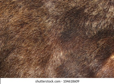 texture of brown bear fur hunted in Rondei mountains, the Carpathians, Romania