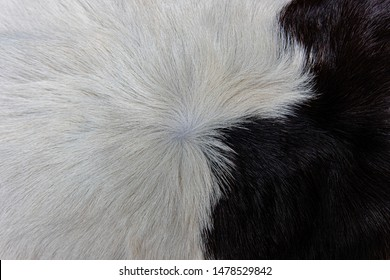 Texture of brown Cow skin coat with fur black white and brown spots