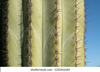 Texture of Cactus plant  in the desert. Close up thorns. Background.
