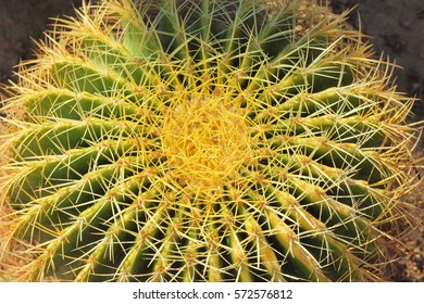 texture cactus thorns