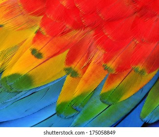 Texture and close up details of Scarlet Macaw Feathers