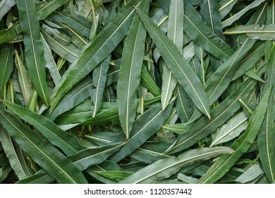 Texture of the collected leaves of Ivan-tea close-up, top view