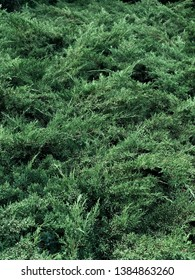 Texture of coniferous plants. Garden plant microbiota. Scale-like green leaves on the branches. Coniferous shrub.