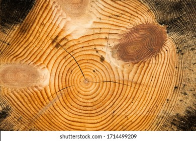 Texture of a cut tree with annual rings.