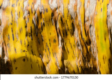 Texture of Dried Banana Leaf in Close Up Detail for Natural Background.