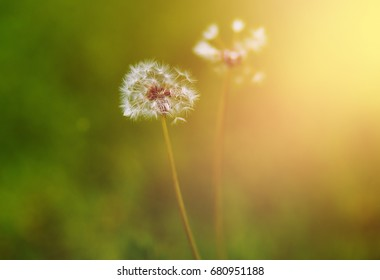 Texture. Fluffy dandelion grows on the lawn. Background blur. Sunlight