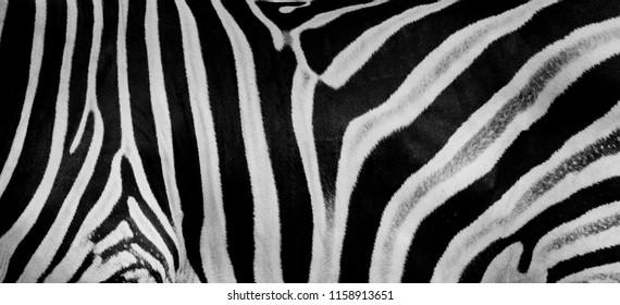 Texture of fur, wool zebra. Striped black and white background. Wild animals