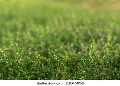 texture of green grass Polygonum aviculare.