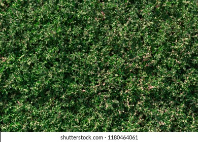 texture of green grass Polygonum aviculare
