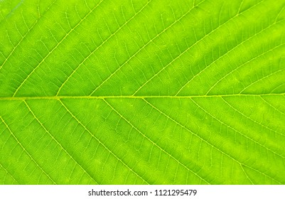 Texture of green leaf close-up. Natural background, leaf fibers