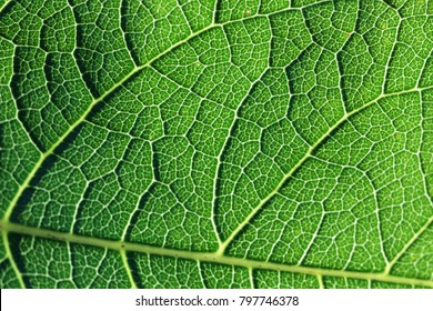 Texture of a green leaf of a plant petrea, detailed, close-up, super macro,Blurred