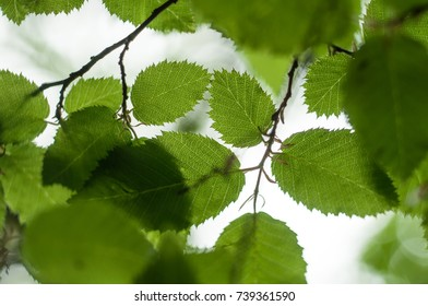 Texture of green leaves against the sky in the backlight