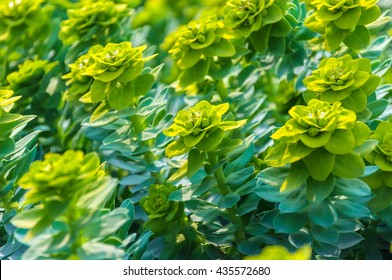The texture of the green leaves and buds of Rhodiola rosea