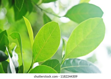 Texture of green leaves,selective focus