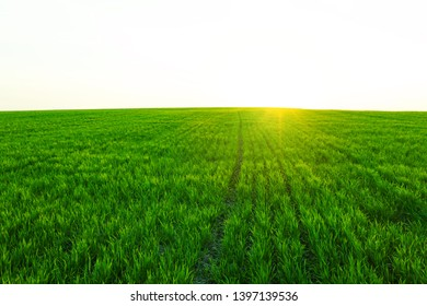 Texture of green young wheat on an agricultural field on a sunny day at sunset. Winter wheat sprouts. The sun's rays break through the grass. Bright abstract background for any design.