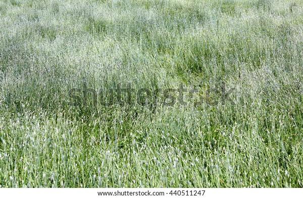 texture of a high silvery grass