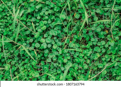 Texture of Hydrocotyle umbellata are aquatic plants.English name is manyflower marshpennywort or dollarweed.