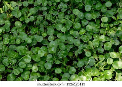 texture of Hydrocotyle umbellata, manyflower marshpennywort or dollarweed