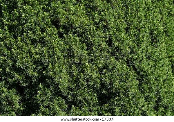 A texture image of pine trees.